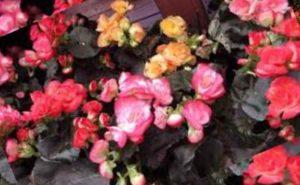 При соседстве с другими цветами на подоконниках, для бегонии потребуется больше просторного места. Так как растению необходимо проветривание.