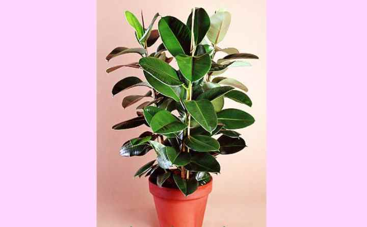 В природной среде вырастает гигантским деревом, достигающим 25-30 метров, а также разрастается в ширь своими корнями.Это растение успешно культивируется домашними цветоводами за свою неприхотливость и простоту в уходе.
