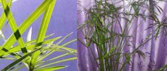 Эти листья-лучики расположены в хаотичном порядке и разные по длине. За счет этого верхушка получается объемной.