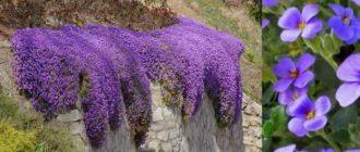 как выглядит цветок обриета