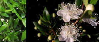 растение, принадлежащее семейству миртовые