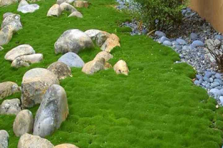 Растение представляет собой вечнозеленую травяную подушку