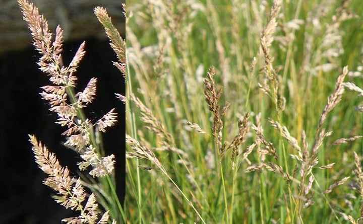 Мятлик болотный
