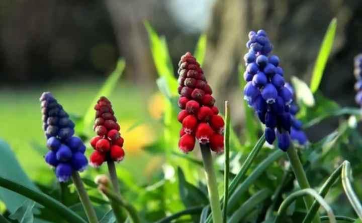 Этот вид гармонично сочетается на украшенных цветами газонах с многолетними растениями.