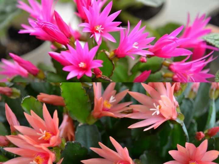 Рипсидопсис также называют «пасхальный кактус»