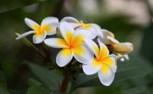 Плюмерия быстрорастущее высокорослое растение. При комнатном выращивании может достигать до 2-2.5 м.