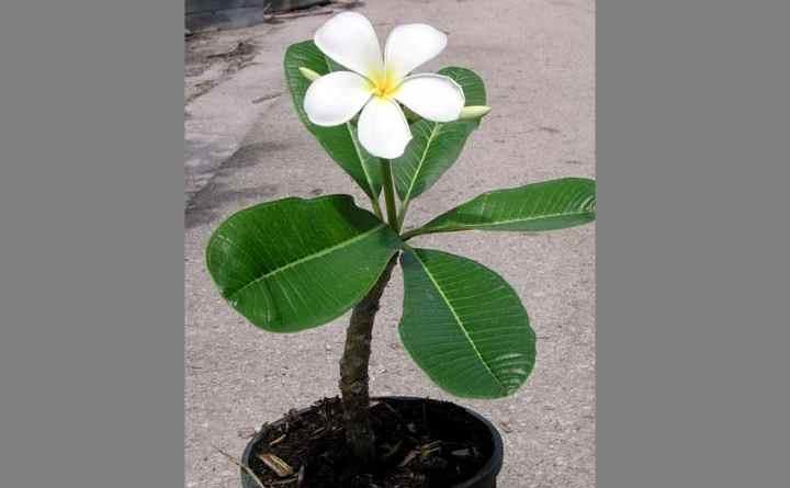 В природе этот род представлен деревьями и кустарниками, насчитывающими более 70 видов.