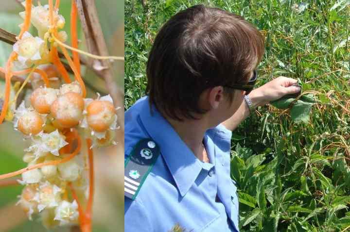 На месте цветения образуются семенные коробочки с 2-4 семечками