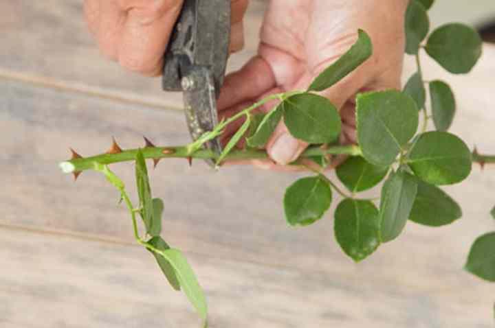 Неплохо роза приживется и в грунте, в котором растет донорское растение