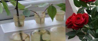 Роза красивое, не оставляющее равнодушным растение