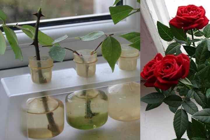 Как размножать розы черенками летом пошагово