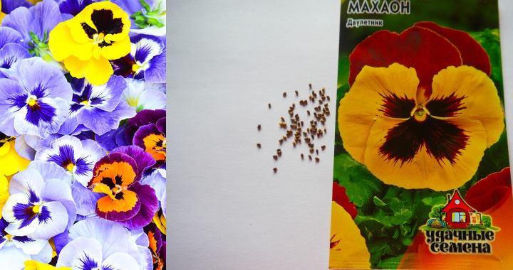 Семена виолы созревают в коробочках