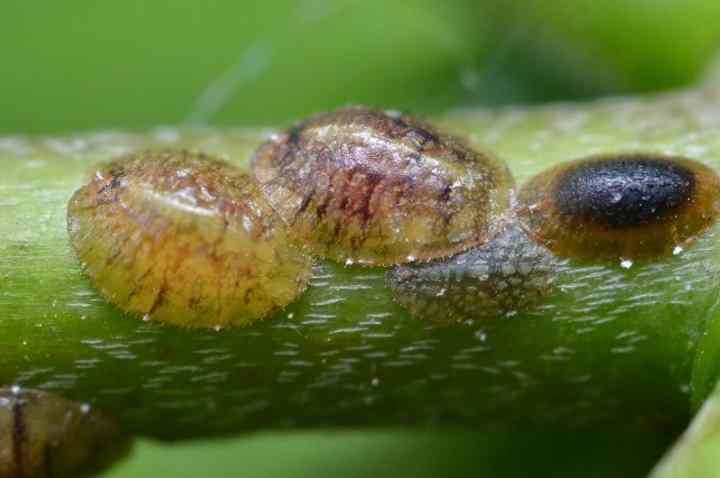 Соседние растения также осматривают и дважды опрыскивают инсектицидом.