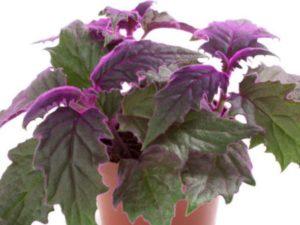 Гинуру обычно выращивают в подвесных кашпо