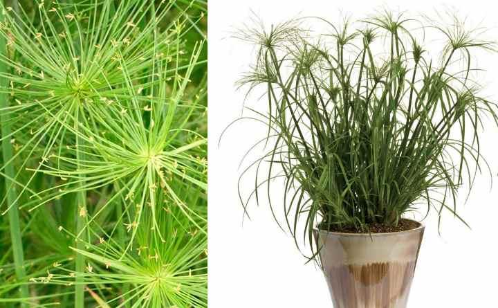 Циперус часто называют осокой, «венериной травой», «папирусом». Из-за своих раскинувшихся листьев имеет даже название растение «зонтик».