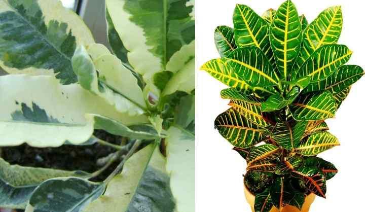 Пересаживать растение следует один раз в два года