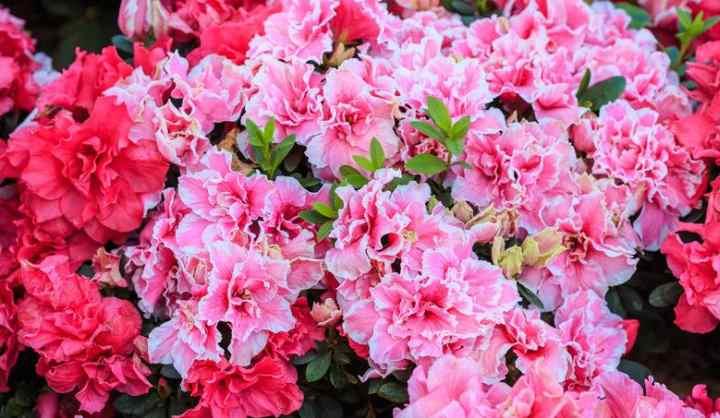 Средне цветущие: в январе – марте;