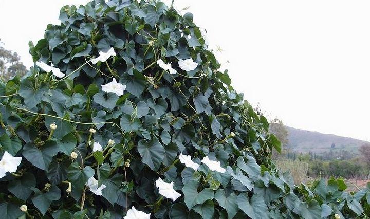 В открытый грунт рассаду отправляют в самом конце весны или в начале лета. В это время заморозки уже не страшны.