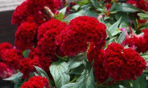 Целозия – неприхотливое декоративное растение