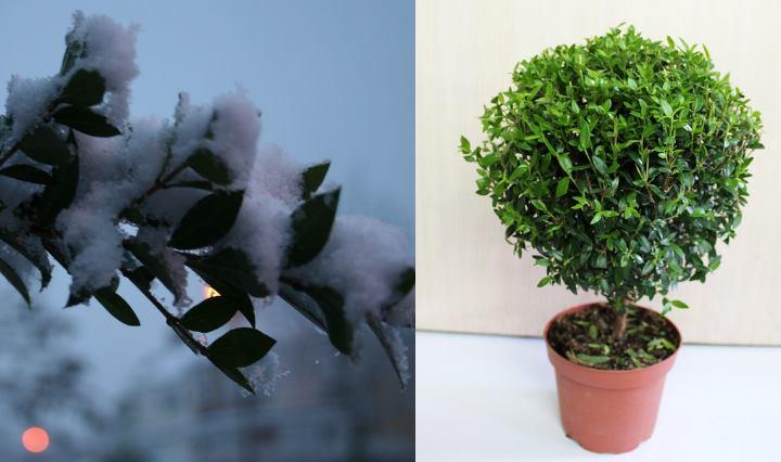 Домашние растение мирт может размножаться двумя способами :семенным и черенкованием