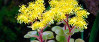 Аихризон – многолетнее растение