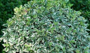 Растение бересклет выглядит очень необычно