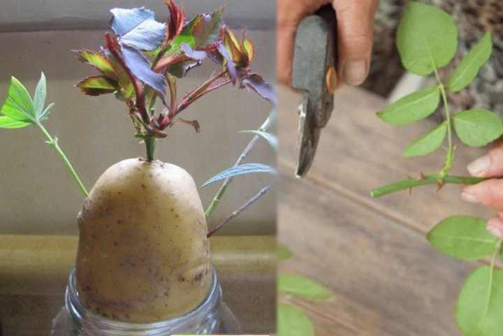 черенкование проводят в два сезона – летом и весной