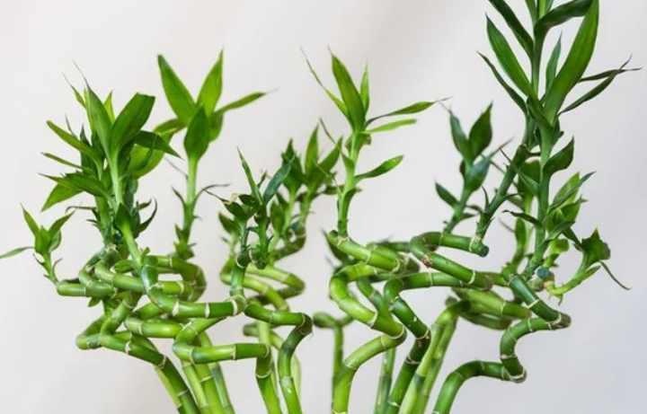 Бамбук в домашних условиях. комнатное растение бамбук (48 фото): уход и размножение