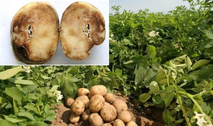 Заболеванию подвержены картофель