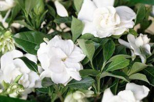 Гардения – очаровательное растение