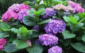 Гортензия – очень красивое и привлекательное растение