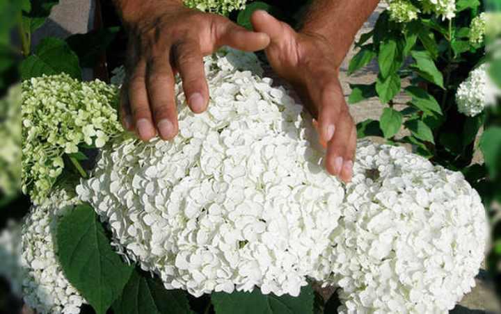 гортензию с давних времен выращивают и в наших садах