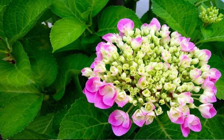 цветы по форме напоминают зонтики