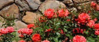 Гибридные розы встречают зиму со свежей листвой