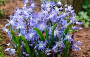 Хионодокс – растение многолетнее