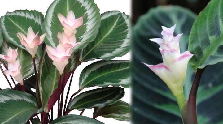 При цветении у калатеи образуется колосок