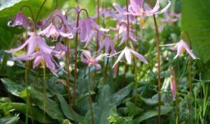 Эритрониум –растение многолетнее