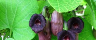 Кирказон – растение многолетние