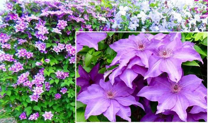 Клематис – многолетний цветок