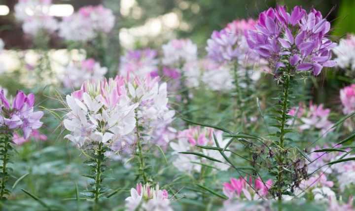 Цветок растет в форме кустиков