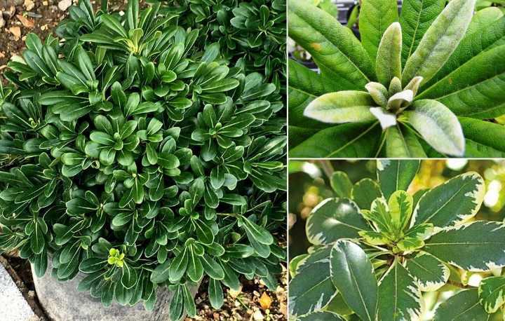 Внешне растение выглядит как кустарник или дерево