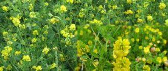 Люцерна – растение популярное во всем мире