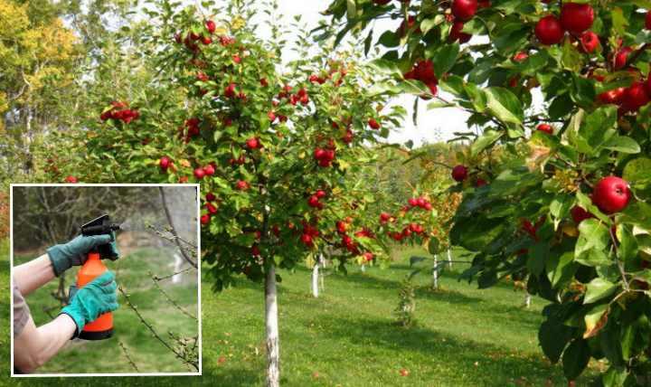 Парша возникает как у плодовых деревьев и кустарников, так и у корнеплодов