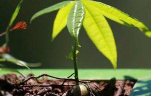 Пахира – растение интересное и уникальное