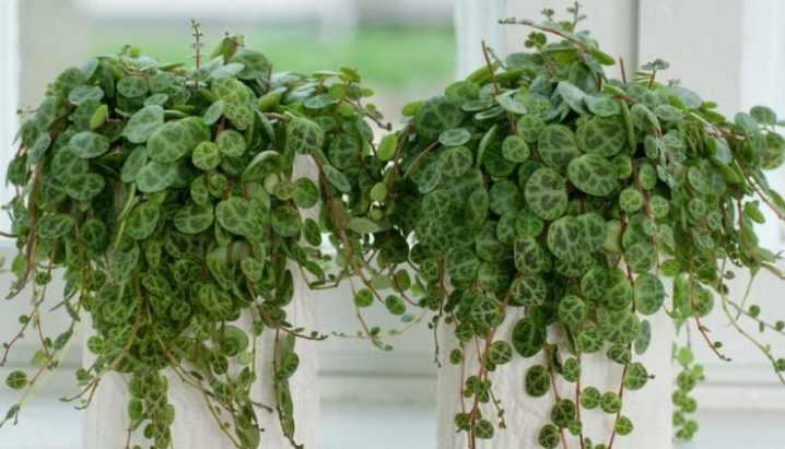 Пеперомия не относится к ядовитым растениям