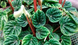 Пеперомия – одно из самых неприхотливых растений