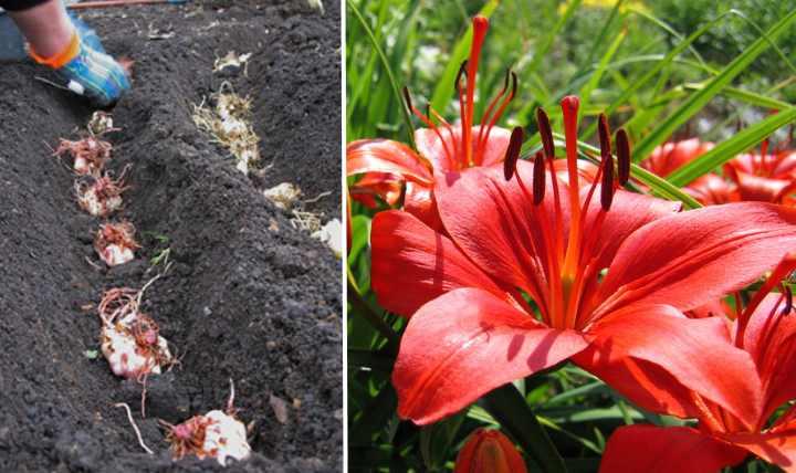 Посадка лилий осенью дает больше преимуществ
