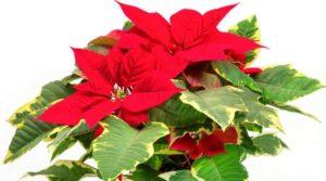 Пуансеттия - многолетние, декоративное растение