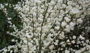 Ракитник – всем известное растение