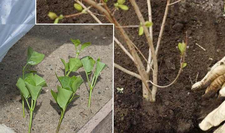 Существуют разные сорта растения